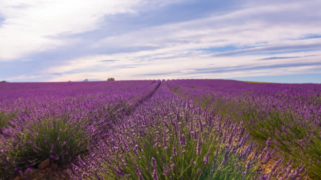 Fields of lavender video