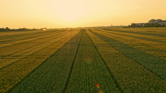 AERIAL Fields of wheat at sunset video
