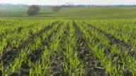 HD CRANE: Fields of Young Wheat video