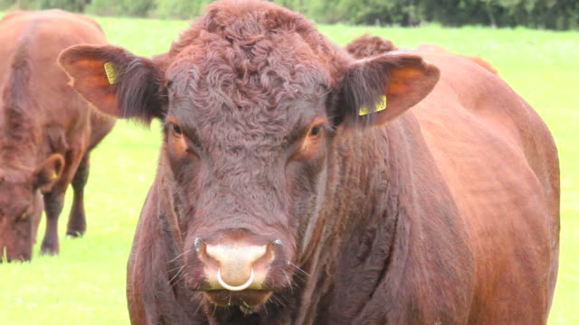Fierce looking Bull in field stares video