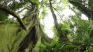 Fig tree - Temperate Rainforest Australian Landscape video