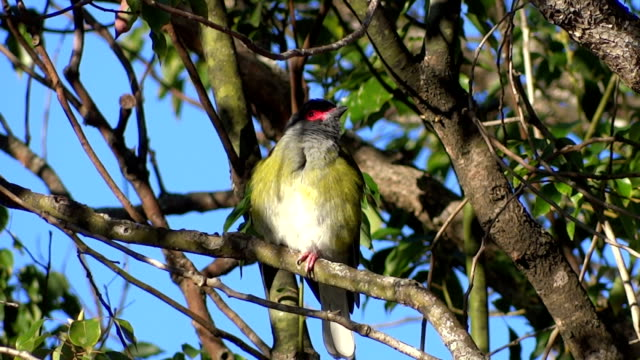 Figbird singing video