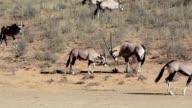 fight between two male Gemsbok, Oryx gazella video