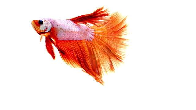 Fighter fish on white background video