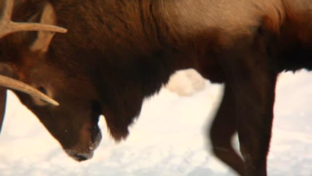 Fighting Elks in winter video