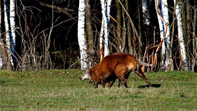 Fighting Red Deers video