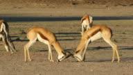 Fighting springbok video