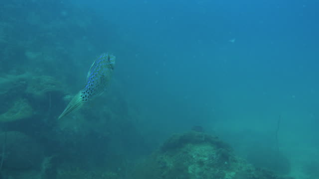 Filefish video