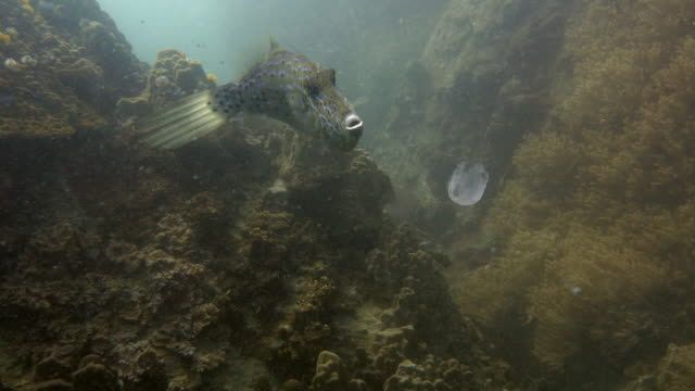 Filefish video
