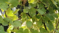 HD: Film Composition Of Wine Producing video