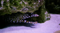 Fimbriated moray opened mouth video