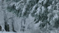 fir branch trees in snow wild forest Christmas winter snowing video