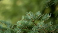 Fir tree branch close-up on defocused green background video