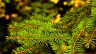 Fir Tree Branch video