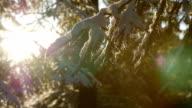 Fir tree covered with snow under morning sunbeams video
