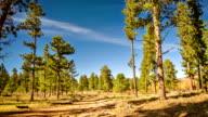 Fir tree forest video
