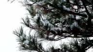 Fir tree in winter video