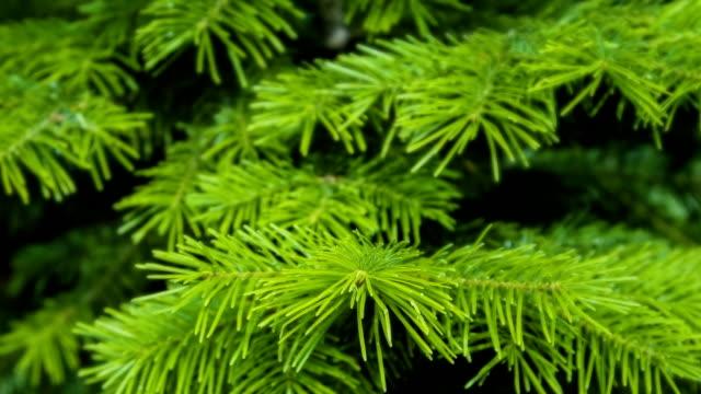 Fir tree video