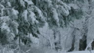 fir trees branch in snow wild forest Christmas winter snowing video