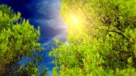 Fir trees in blue sky video