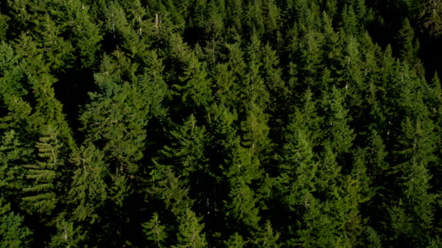 Fir trees in Oregon forest, aerial shot video