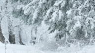 fir trees in snow branch wild forest Christmas winter snowing video