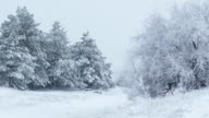 fir trees in snow Christmas wild forest winter snowing video