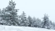 Fir trees in snow Christmas winter wild forest snowing video