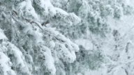 fir trees in snow wild forest Christmas winter branch snowing video