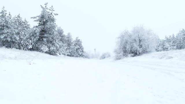 fir trees in snow winter wild Christmas forest snowing video