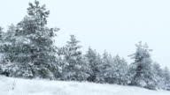 Fir trees in the snow Christmas winter wild forest snowing video