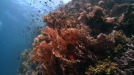 Fire coral red sea video
