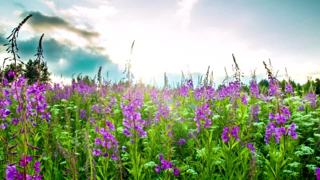 Fireweed at sunset video
