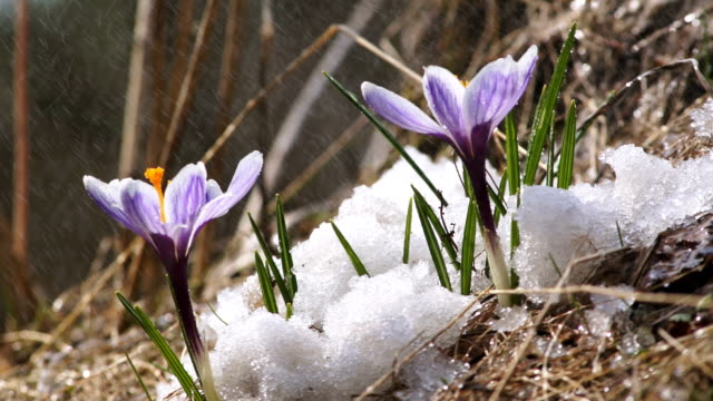 First spring flowers, crocus with snow and rain video