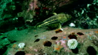 Fish and urchin in underwater rocks on Japan Sea. video