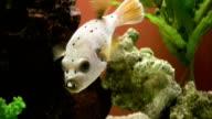 Fish, Dog Face Puffer, Arothron nigropunctatus, HD video