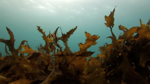 Fish hiding among Kelp video