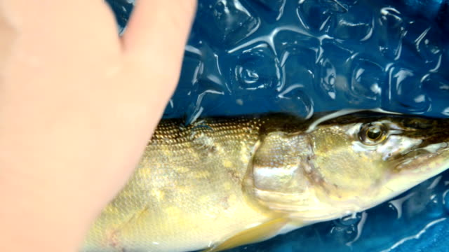 Fish pike in the ice in the water. video