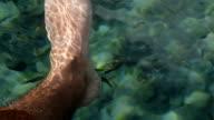 Fish Spa pedicure Rufa Garra treatment video