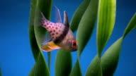 Fish, Spotted Cardinalfish, Sphaeramia nematoptera, HD video