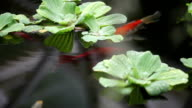 Fish swim among plants video