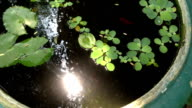 Fish Swimming in Garden Water Pond video