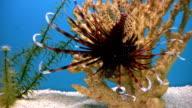 Fish, Volitan Lionfish, Pterois volitans, HD video