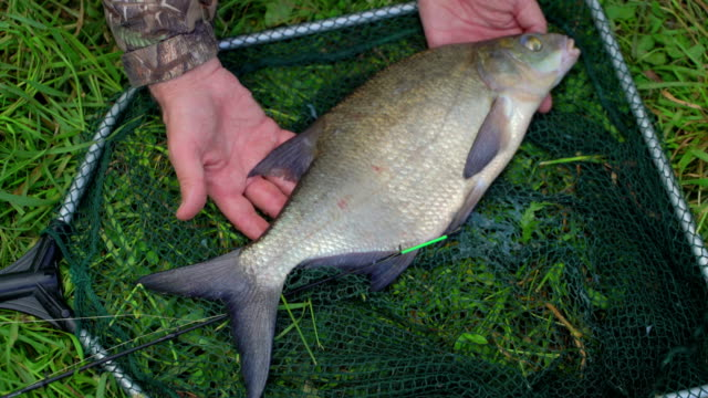 Fisherman hands holds freshly caught wild fish bream. Hands shaking from adrenaline. Concept successful catch excitement and joy. Caught and released. Close-up video