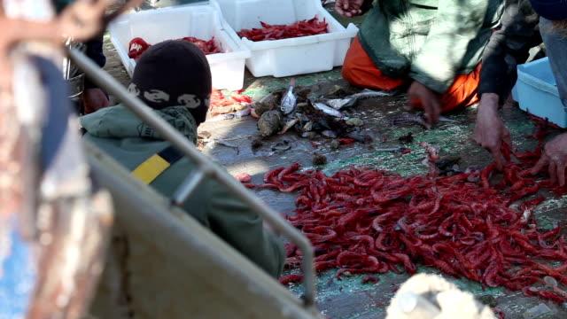 Fishermen sorting prawns video