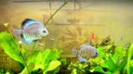 Fishes in an aquarium. video