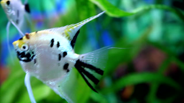 Fishes in aquarium. video