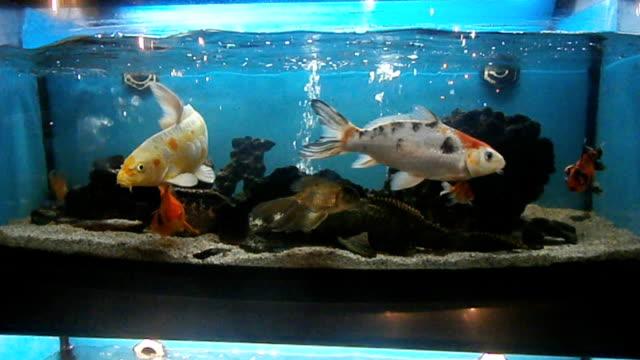 Fishes in aquarium video