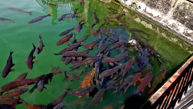 Fishes of Alcazar pool video
