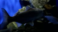 Fishes slowly swim in aquarium moving their flippers video